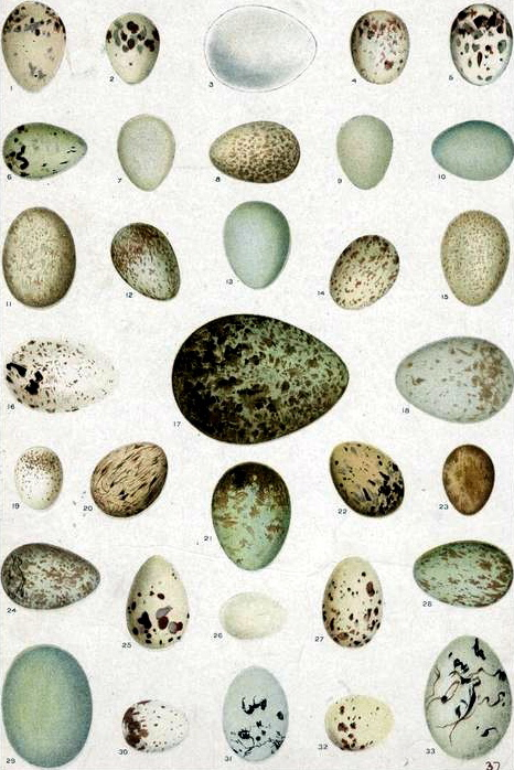 Animal-bird-eggs-1