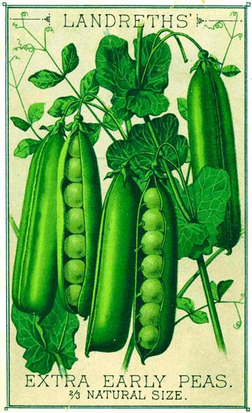 Early Peas copy