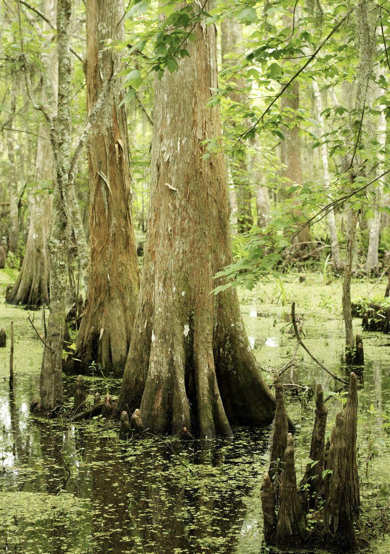 Barataria Swamp