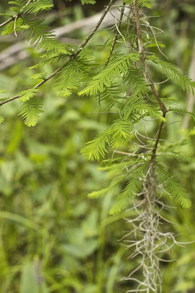 Cypress fronds