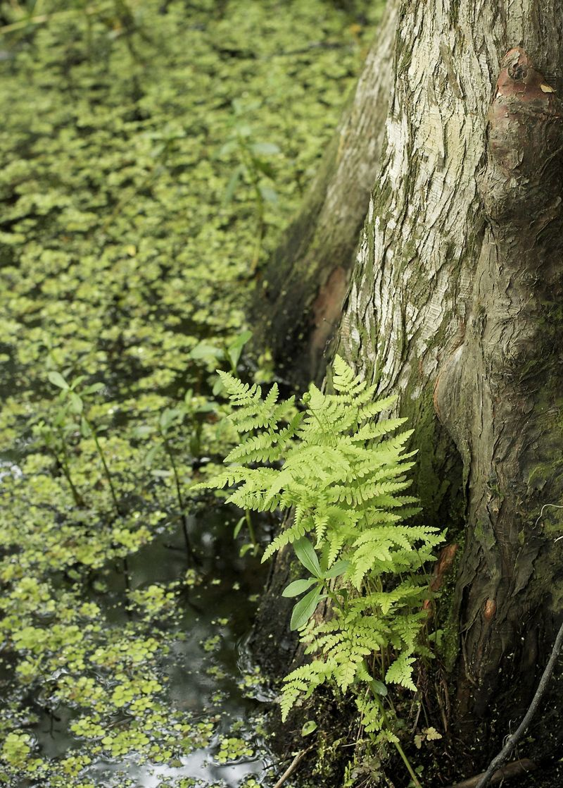 Ferns in the Swamp