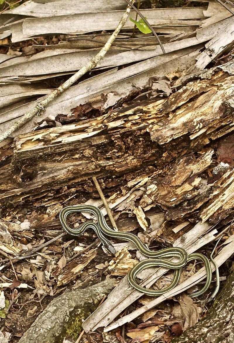 Snake in Barateria