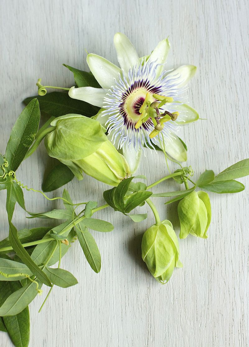 Passion Flower Fresh Suzonne Stirling