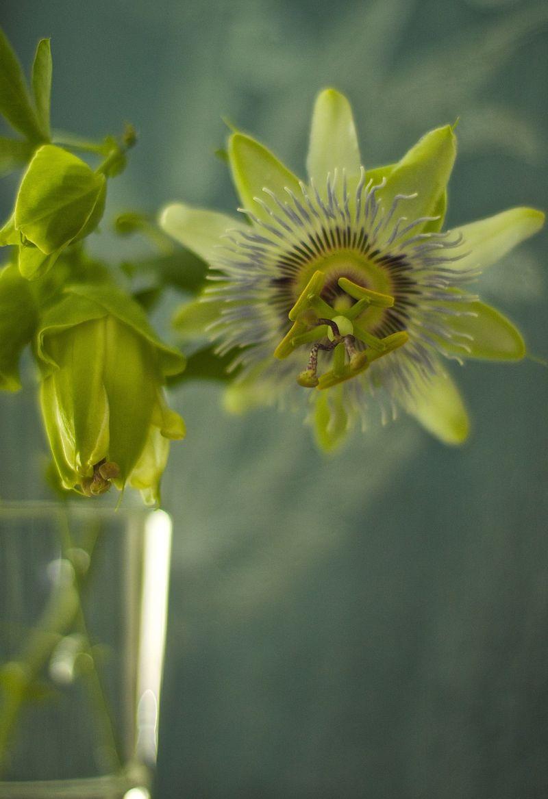 Passion Flower Blue | Suzonne Stirling