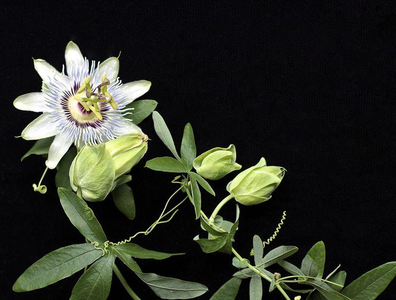 Passion Flower Black | Suzonne Stirling