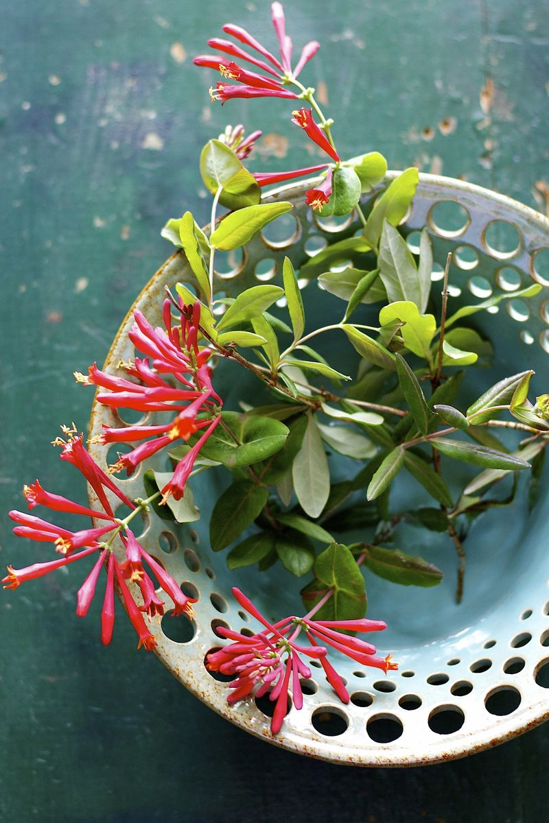 Coral Honeysuckle } Suzonne Stirling