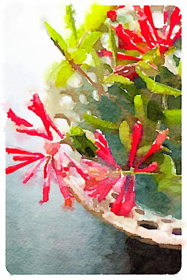 Coral Honeysuckle | Urban Comfort