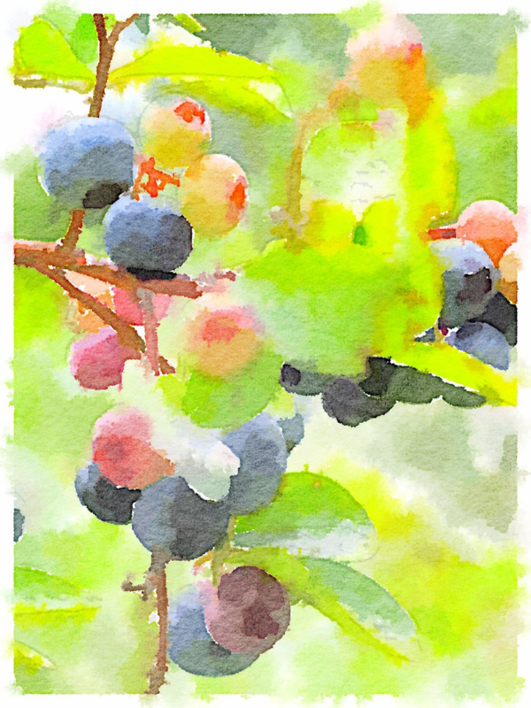 Grandfather's Blueberries | Urban Comfort